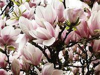 garden of magnolia