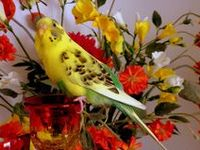 I relly like budgies.  To the memory of my budgie Bibinha ( 2006-20013 )