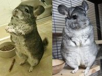 Chinchillas are meant to be cuddled not worn.