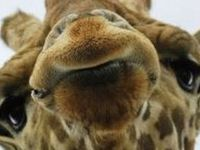 I love giraffes, they are so adorable!