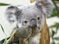 Koalas aren't bears, they aren't even related to bears. The koala is related to the kangaroo and the wombat. Koalas live in eastern Australia, where the eucalyptus trees they love are most plentiful.