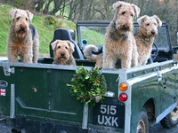 Dogs Terriors Airedales Fluffy None Shedding Puppies