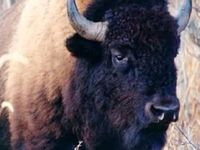 Tatanka / Native Buffalo
