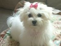 """Oh how we love our """"little man"""" Bailey!  Maltese are so smart, loyal, and loving:)  We just lost our best little man Bailey.  He passed away from liver disease 3/10/14.  He was only 7 years old. Our hearts are broken. We have a new puppy to love. Her name is Bella!"""