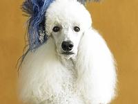 All Mop's Poodles
