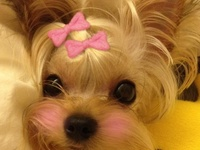 ♥ All things YORKIE ♥