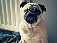 Love, pets AKA Pug love
