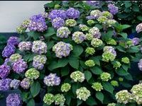 Watch for these beautiful plants in the garden centers next spring- I am projecting them as big hits!