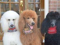 Pretty Pretty Poodles