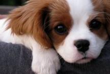 Puppy Love / dogs dogs dogs puppy puppy love pictures ideas advice brittany spaniel / by Mariel Hale