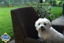 Meet Trina the Maltese / by Nature's Recipe
