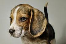 beagles / by Ginny Branch Stelling