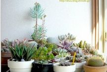 Succulents & Cacti / by Alia Swartz
