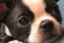 I ♥ Boston Terriers / Lola, Max and Bella / by Connie