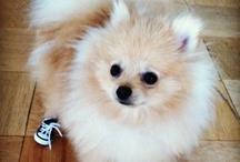 Pomeranian / by Sharon Pollard