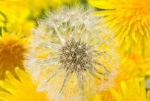 Dandelion Wishes / Anything dandy-lion. Some Queen Anne's Lace and milkweed as well. / by Nancy Kirkpatrick