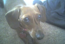 Mylee & Murphee Love~a doxie tail / by Tracey Puckett