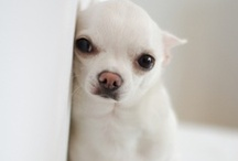 Animals: Chihuahuas / World's smallest dog breed: the Chihuahua. Cute and feisty, still dogs, so don't dress them up. / by Jolanda van Pareren