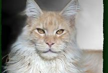 """Animals: Maine Coons / One of the largest domesticated cat breeds: the Maine Coon, a.k.a. """"Gentle Giants"""" (and that's exactly what they are). / by Jolanda van Pareren"""