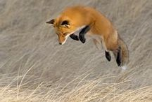Animal - Fox / by Lily Fisher