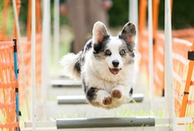 Corgis Doing Agility! / by Daily Corgi