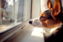 How Cute is That Corgi in the Window? / by Daily Corgi