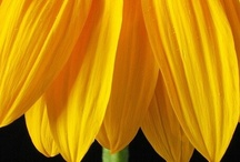 Sunflowers / by Karen Greenstadt