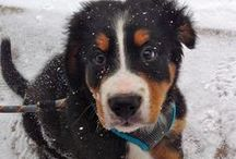 Bernese Mountain Dog / by The Daily Puppy