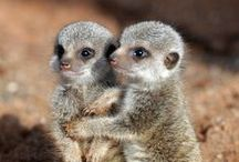 Animals & Pets: Meerkats / by Lucia  Kaiser / Design by Lucia