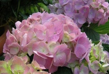 ~ Hydrangea Love ~ / Any variety, any color, love them all! / by Pat Cole