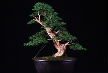 Beautiful Bonsai / by Sue Pfost