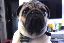 My dog, Mr Plancton Khan, the Pug! / by Barbara Schuckar