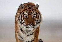 Tiger, tiger, burning bright... / by Cait Reynolds - Romance Author