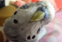 Budgies Are Awesome  / Budgies, my favourite little feathered animal.  / by vilashini velu