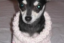 iChihuahua! / My Chihuahuas and others that I find along the way here! / by Nancy Pouder