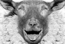 Sheepish / Sheep- where all that wooly goodness comes from! / by Sheryl Gilbertson