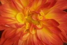 Dahlias / Flowers / by Eileen McDonnell