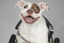 Pit Bull Heroes / by Stubby Dog
