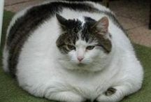 Really Fat Cats / A collection of unbelievably fat cats! / by De Vonee Kaiser