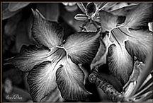 la fleur- black and white / by Amie