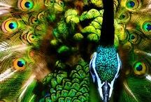 Peacocks / by Lisa Kinney