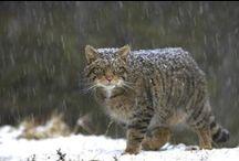Scottish Wild Cat / by Anne Brown