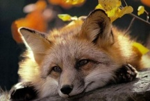 Foxes / by Carmen .