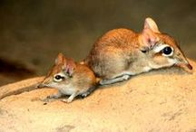S for Sprightly Sengi / Sengis are diurnal insectivores from Africa.   They are also known as the elephant shrew and resemble rodents or opossums.  They are known for their scaly tails and long snouts.  They use their long legs to hop, similar to rabbits.  / by Geeky KiKi