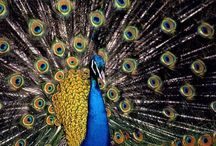 Peacocks / These birds are so regal with their natural fans. The iridescent blue and greens are amazing! / by Sabrina Jordan