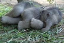 Elephants / by Pat Ackerley