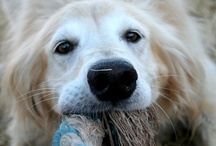Golden Retrievers - Mel  / This is my girl Mel - she is a rescue and the love of my life.  Please don't support puppy mills - adopt!   / by Gone Funky