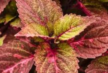 Fabulous Foliage from Proven Winners / Who needs blooms when foliage plants can bring so much interest to a garden with their color and texture?  Add these plants to containers, window boxes or the landscape, they will make a strong statement as a contrast plant or a mass planting.  / by Proven Winners Plants