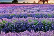 Lavender, Purple & Violet Inspirations / by Lisa Narramore