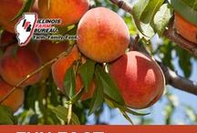 Perfect Peaches  / Illinois peach farmers care about growing healthy and tasty peaches for their family and yours.  / by Illinois Farm Bureau